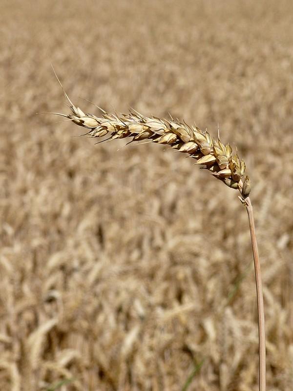 Конфликт в Ираке может оказать большее влияние на рынок зерна, чем ситуация в Причерноморском регионе