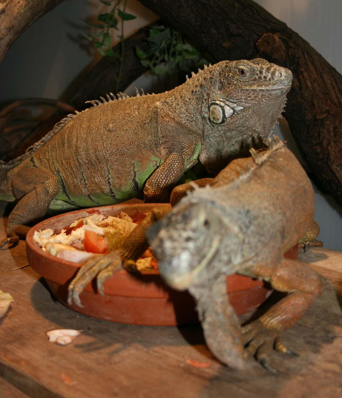 Leguán zelený iguana iguana