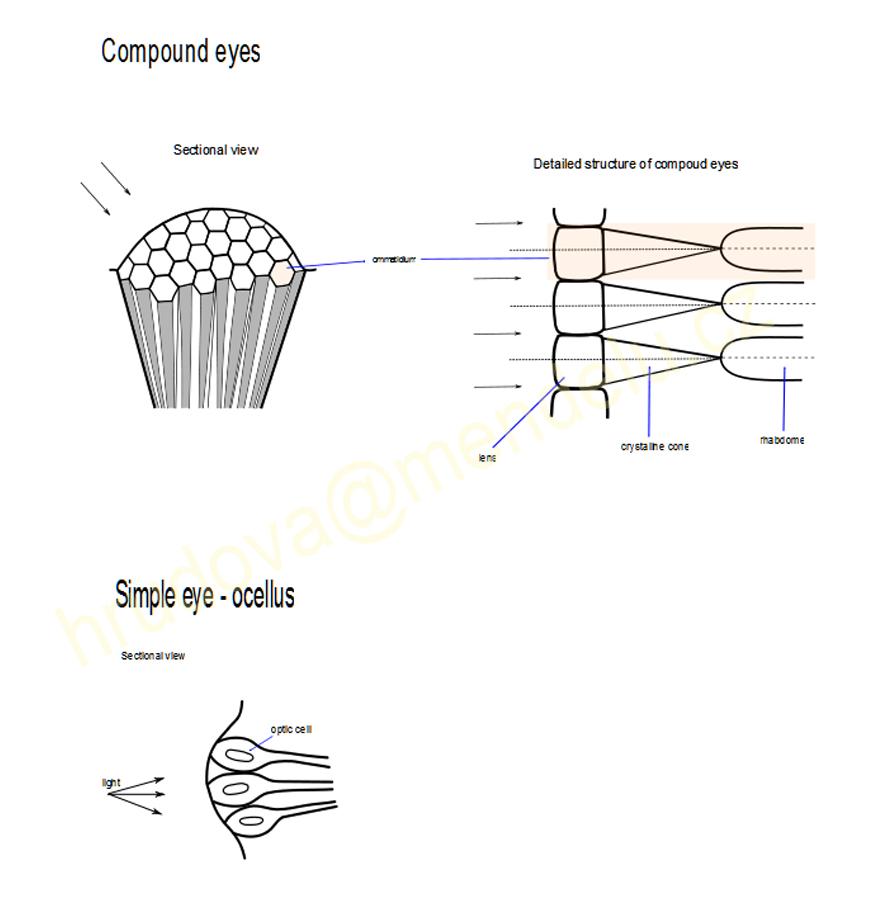 Print Page Simple Eye Diagram Head Eyes Antomy