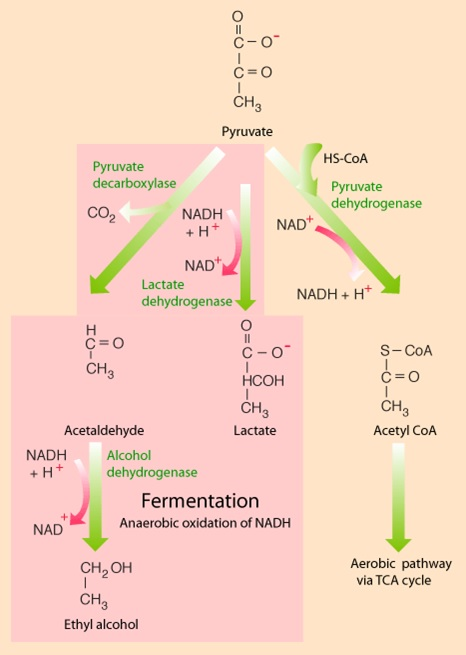 Print page anaerobic respiration both glycolysis and fermentation ccuart Gallery