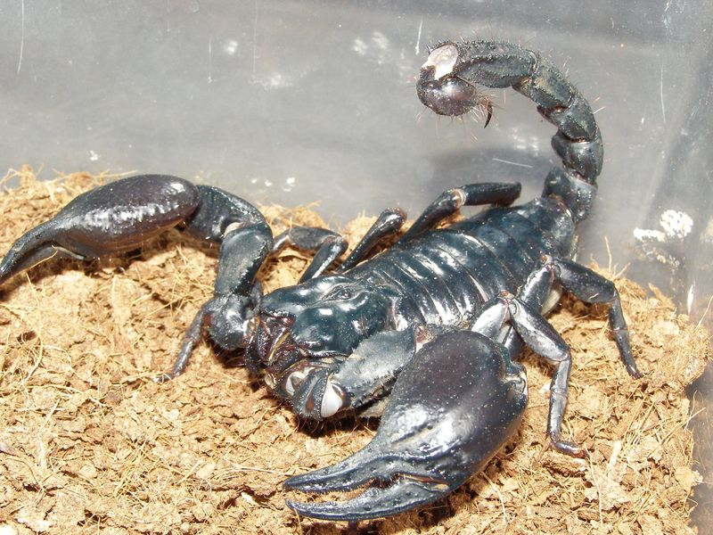 Biggest scorpion in the world - photo#7