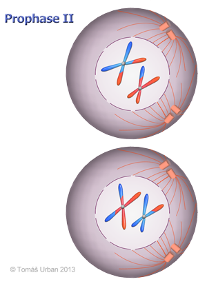 ... Meiosis Diagrams as well Independent Assortment Biology. on diagram