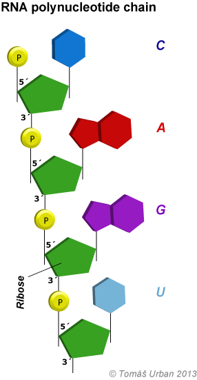 print page Sugar and Phosphate in DNA