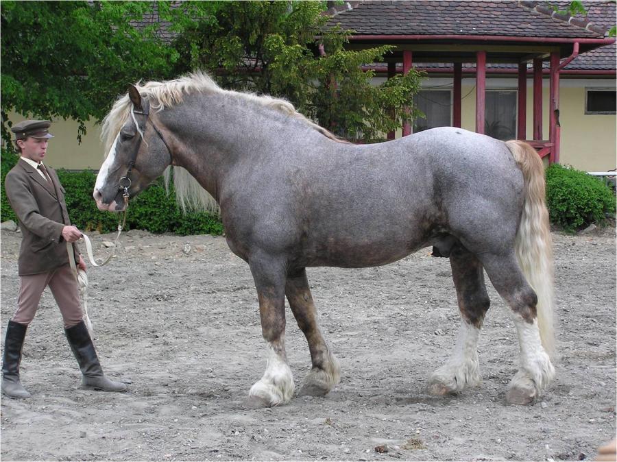 Draft Horse Breeds List 3  Phylogenetic genesis