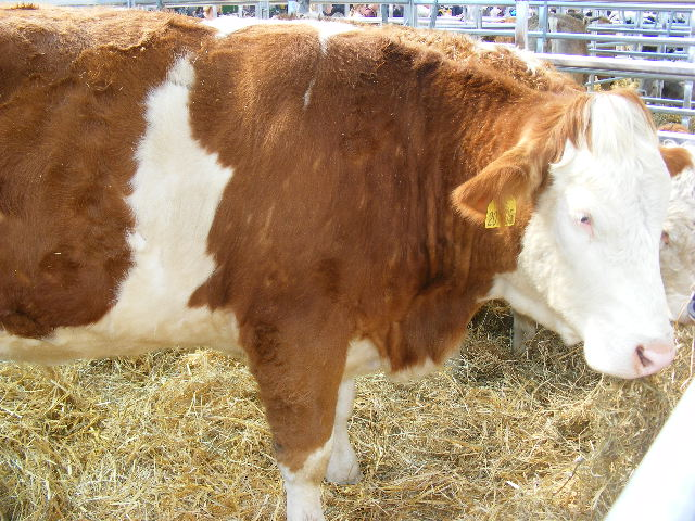 Simmental Cattle Characteristics