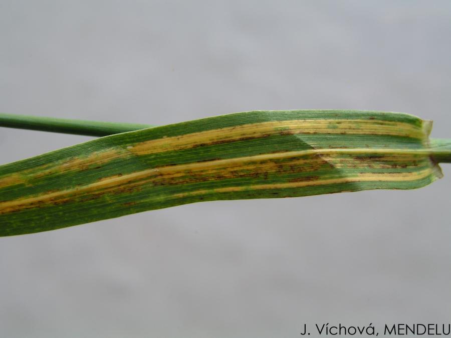 Helminthosporiose gramineum, Árpalevél csíkosság (Helminthosporium gramineum)