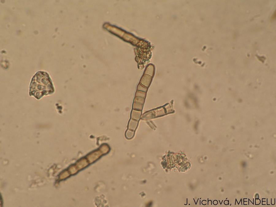 papaveris helminthosporium