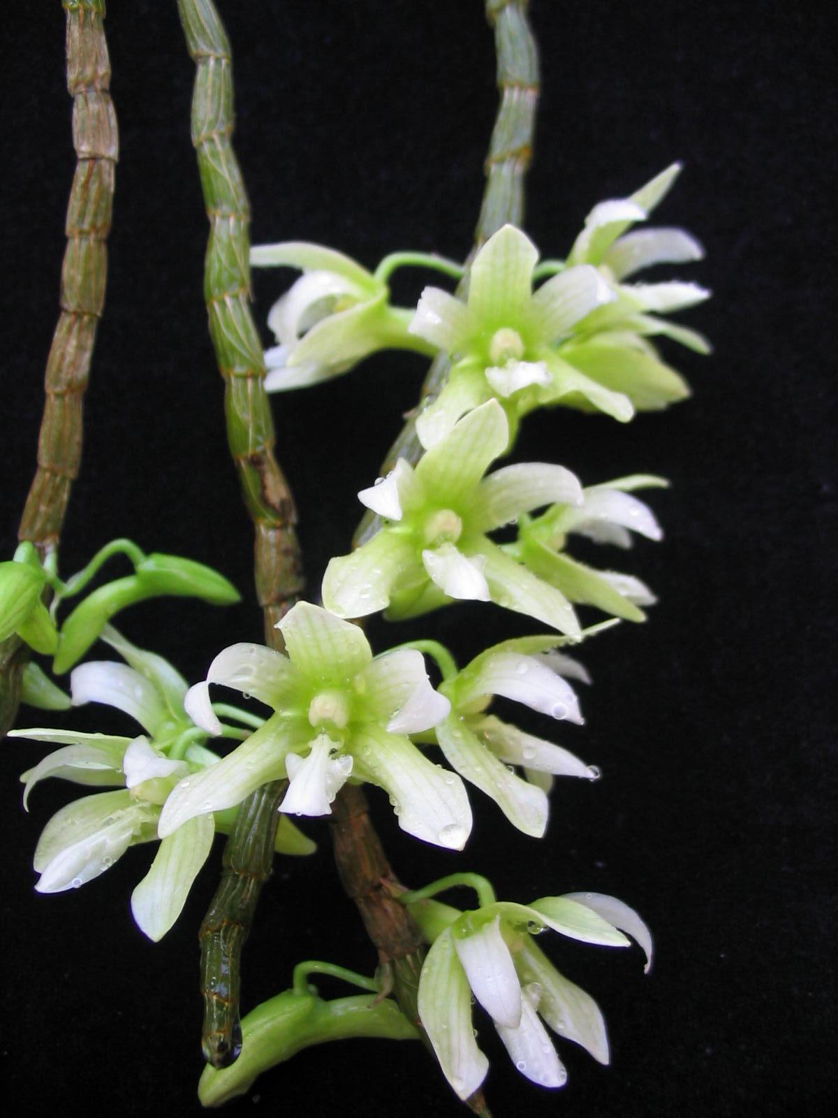 http://web2.mendelu.cz/arboretum/upload/Dendrobium_guerreroi.jpg